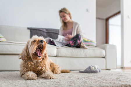 Dog in a modern , bright living room on carpet, a ted bored while his owner is busy working from home