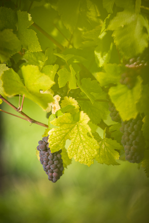 Large bunches of red wine grapes hang from an old vine in warm afternoon light Imagens