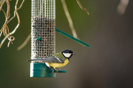 Great tit (Parus major) on a feeder in a garden, hungry during winter