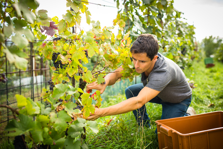 Handsome young vintner harvesting vine grapes in his vineyard (color toned image) Stock Photo