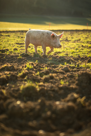 Pigs eating on a meadow in an organic meat farm Standard-Bild - 117810290