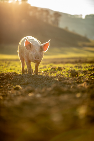Pigs eating on a meadow in an organic meat farm Imagens - 118589664