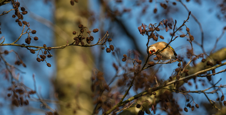 European goldfinch or Carduelis carduelis portrait on branch in winter close-up, selective focus, shallow DOF