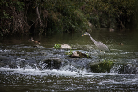 Grey Heron hunting in a river - wildlife in its natural habitat Stock Photo