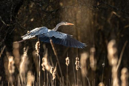 Grey Heron  (Ardea cinerea) in flight in lovely evening light - wildlife in its natural habitat 写真素材