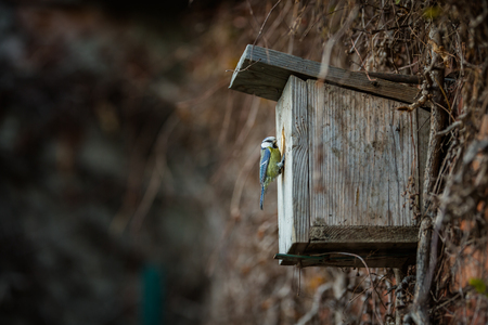 Blue tit Parus caeruleus on a bird house it inhabits - feeding the young. Shallow depth of field and background blurred Foto de archivo