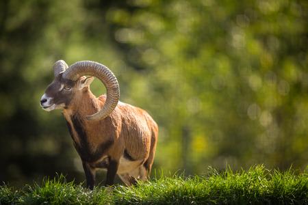 European mouflon (Ovis orientalis musimon) Фото со стока