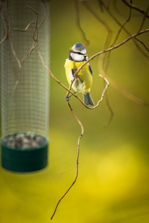 Tiny Blue tit on a feeder in a garden, hungry during winter (lat. Parus caeruleus) Фото со стока - 120120237
