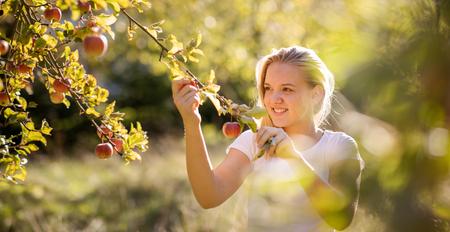 Süßes Mädchen pflückt Äpfel in einem Obstgarten und hat Spaß beim Ernten der reifen Früchte der Arbeit ihrer Familie (Farbbild) Standard-Bild