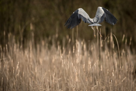Grey Heron  (Ardea cinerea) - wildlife in its natural habitat Stok Fotoğraf