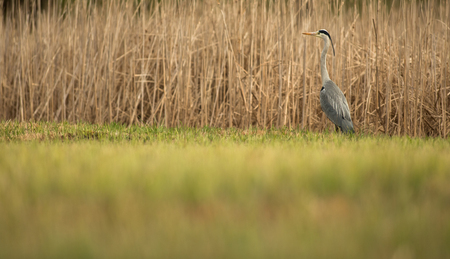 Grey Heron  (Ardea cinerea) - wildlife in its natural habitat 写真素材