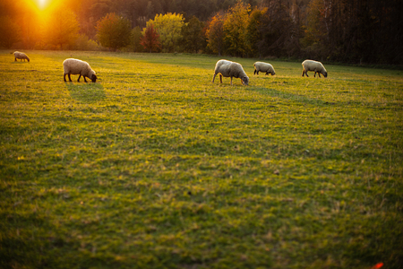 Sheep grazing on lush green pastures in warm evening light 版權商用圖片