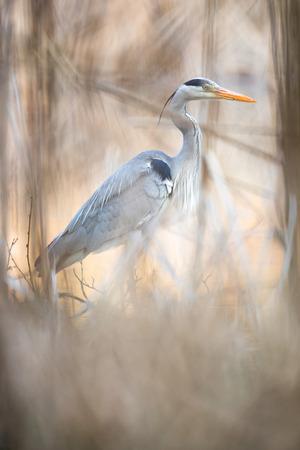Grey Heron  (Ardea cinerea) - wildlife in its natural habitat Stock Photo