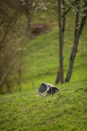 Grey Heron  (Ardea cinerea) - wildlife in its natural habitat 写真素材