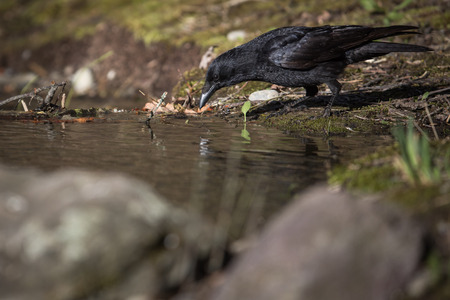 Common raven (Corvus corax), also known as the northern raven having a drink of fresh water from a little stream in mountains - bird in its natural habitat, wildlife photography