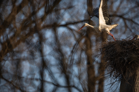 Elegant white stork (Ciconia ciconia) during the nesting season, busy taking care of his little ones