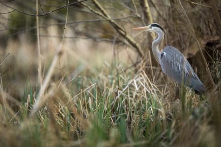Grey Heron  (Ardea cinerea) - wildlife in its natural habitat Reklamní fotografie - 121290295