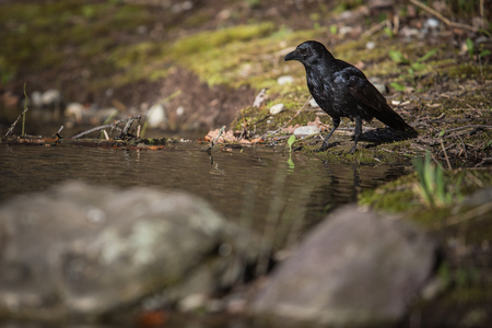 Common raven (Corvus corax), also known as the northern raven having a drink of fresh water from a little stream in mountains - bird in its natural habitat, wildlife photography Stock Photo - 121290556