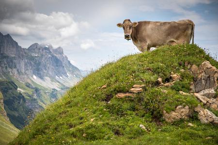 Brown mountain cows grazing on an alpine pasture in the Bernese Alps in summer. Grindelwald, Jungfrau region, Bernese Oberland, Switzerland