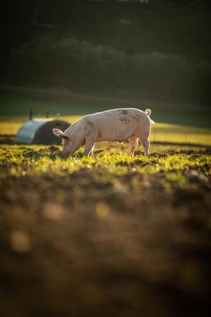 Pigs eating on a meadow in an organic meat farm Foto de archivo - 123489365