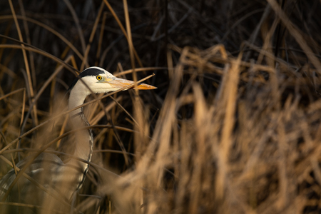 Grey Heron  (Ardea cinerea) - wildlife in its natural habitat Reklamní fotografie - 123489368