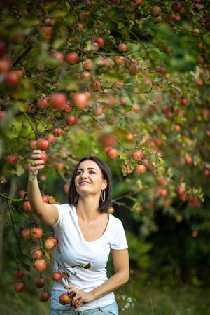 Jolie jeune femme cueillant des pommes dans un verger s'amusant à récolter les fruits mûrs du travail de sa famille (image aux tons de couleur) Banque d'images