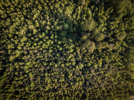 Aerial top view of coniferous green trees in a forest in Swiss Alps