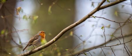The European robin (Erithacus rubecula) known simply as the robin or robin redbreast Banco de Imagens - 123489789