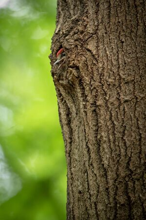 Great spotted woodpeckers young chick looking out from the nest in a tree trunk in spring forest