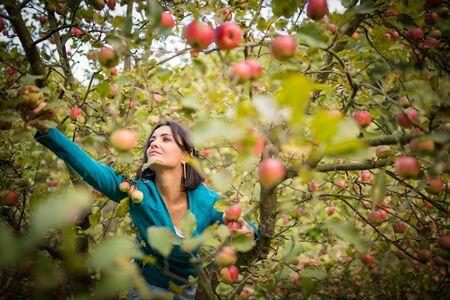 Süße junge Frau, die Äpfel in einem Obstgarten pflückt, die Spaß daran hat, die reifen Früchte der Arbeit ihrer Familie zu ernten (Farbbild)