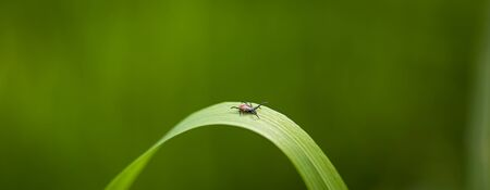 Tick (Ixodes ricinus) waiting for its victim on a grass blade - parasite potentionally carrying dangerous diseases Stock Photo
