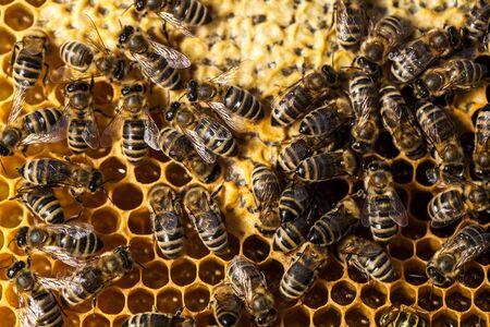 Makroaufnahme von Bienen, die auf einer Wabe schwärmen Standard-Bild