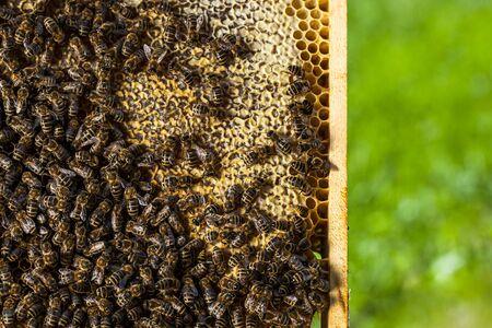 Macro shot of bees swarming on a honeycomb Stok Fotoğraf