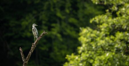 Grey Heron  (Ardea cinerea) - wildlife in its natural habitat Reklamní fotografie - 128841170