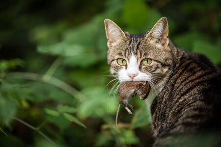 Cat hunter with a caught mouse in her mouth Standard-Bild - 128841240
