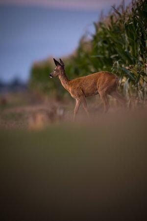 Wild roe deer (Capreolus capreolus) at dusk