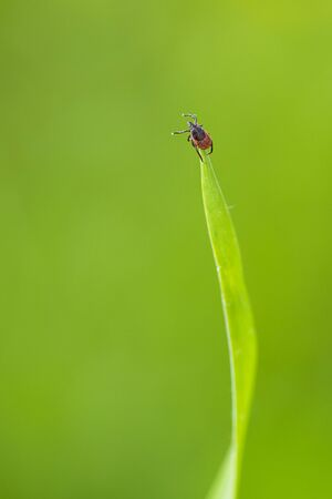 Tick (Ixodes ricinus) waiting for its victim on a grass blade - parasite potentionally carrying dangerous diseases Imagens