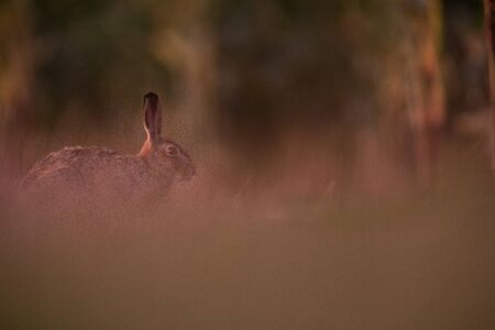 Wild hare (lepus europaeus) - Lonely wild brown hare lit by warm evening light at dusk