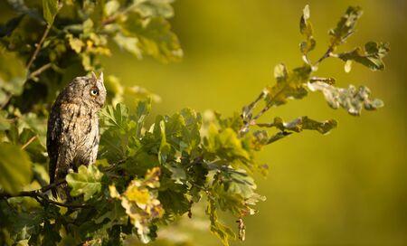Eurasian scops owl (Otus scops) - Small scops owl on a branch in autumnal forest