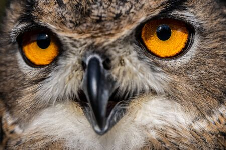 Eurasian eagle-owl, Bubo bubo, close-up view 写真素材 - 131792719