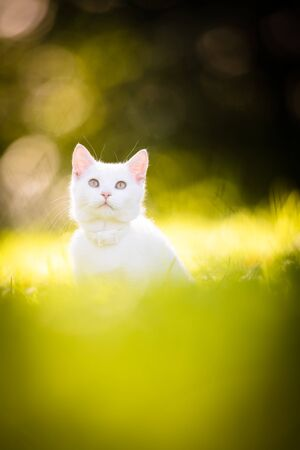Extremely cute white kitten on a lovely meadow, playing outside - sweet domestic pet playing outside