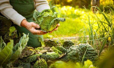 Jardinero senior de jardinería en su jardín de permacultura - sosteniendo una espléndida cabeza de col de Saboya