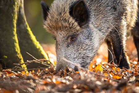 Sanglier ou Sus Scrofa, également connu sous le nom de porc sauvage, cochon sauvage eurasien