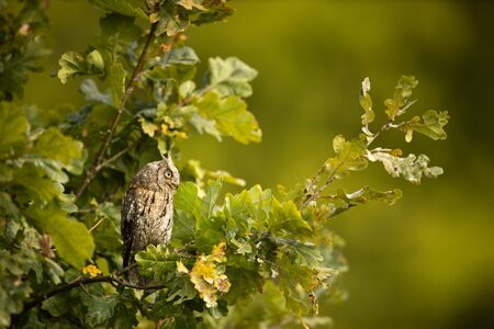 Eurasian scops owl (Otus scops) - Small scops owl on a branch in autumnal forest