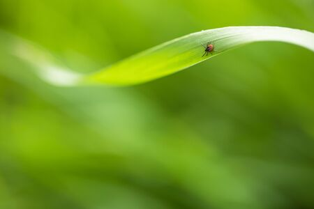 Tick (Ixodes ricinus) waiting for its victim on a grass blade - parasite potentionally carrying dangerous diseases 写真素材