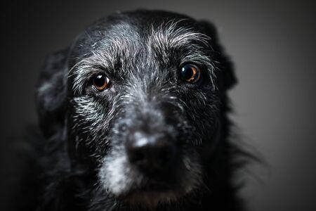 Portrait of a black dog against a black backdrop in a studio