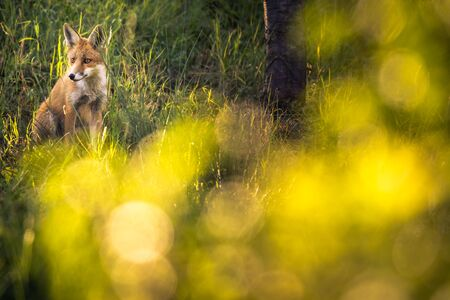 Red fox in its natural habitat - wildlife shot