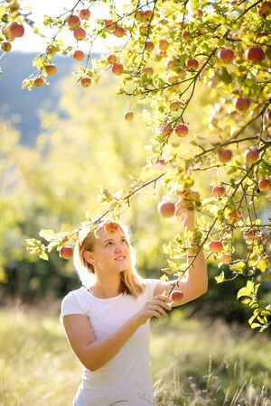 Cute girl picking apples in an orchard having fun harvesting the ripe fruits of her family's labour (color toned image)