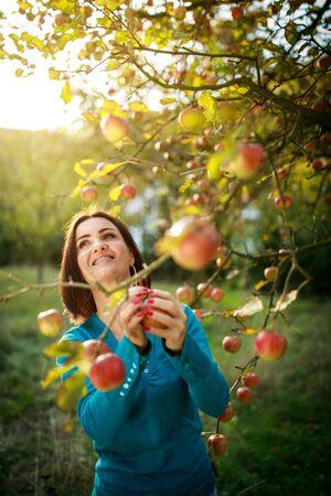 Süße junge Frau, die Äpfel in einem Obstgarten pflückt, die Spaß daran hat, die reifen Früchte der Arbeit ihrer Familie zu ernten (Farbbild) Standard-Bild