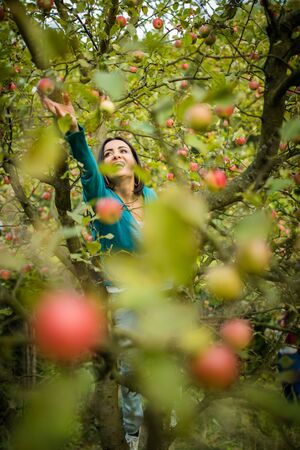Cute young woman picking apples in an orchard having fun harvesting the ripe fruits of her family's labour(color toned image) Standard-Bild